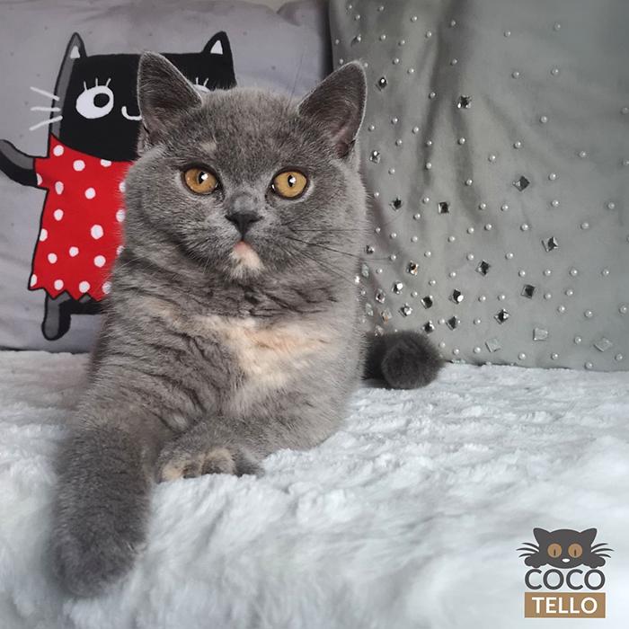 Cocotello - hodowca kotów rasy brytyjskiej